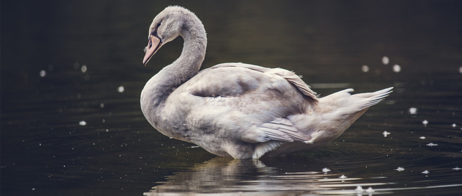 Nasce The White Swan